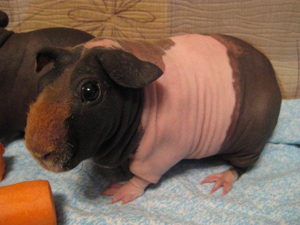 Как приручить морскую свинку в домашних условиях - Приморско-Ахтарск